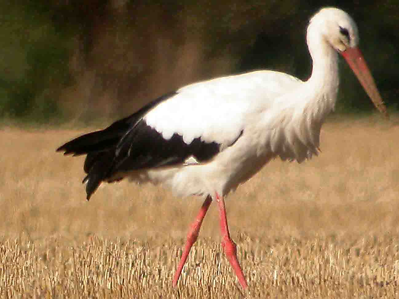 stork bird walking photos
