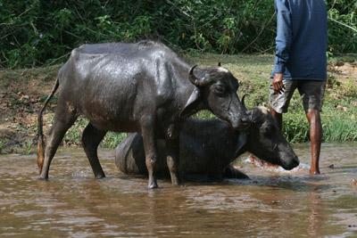 http://www.freewebs.com/suebryan/Domestic-water-Buffalo-Indi.jpg