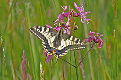 external image Swallowtail-Butterfly-(2)-S.jpg